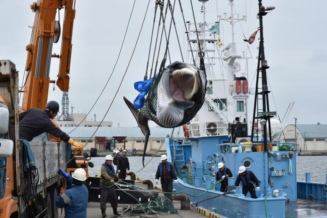 A captured Minke whale is lifted by a crane at a port in Kushiro, Hokkaido Prefecture