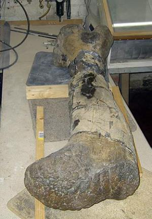 The dinosaur's 1.4 metre leg bone was in hundreds of pieces