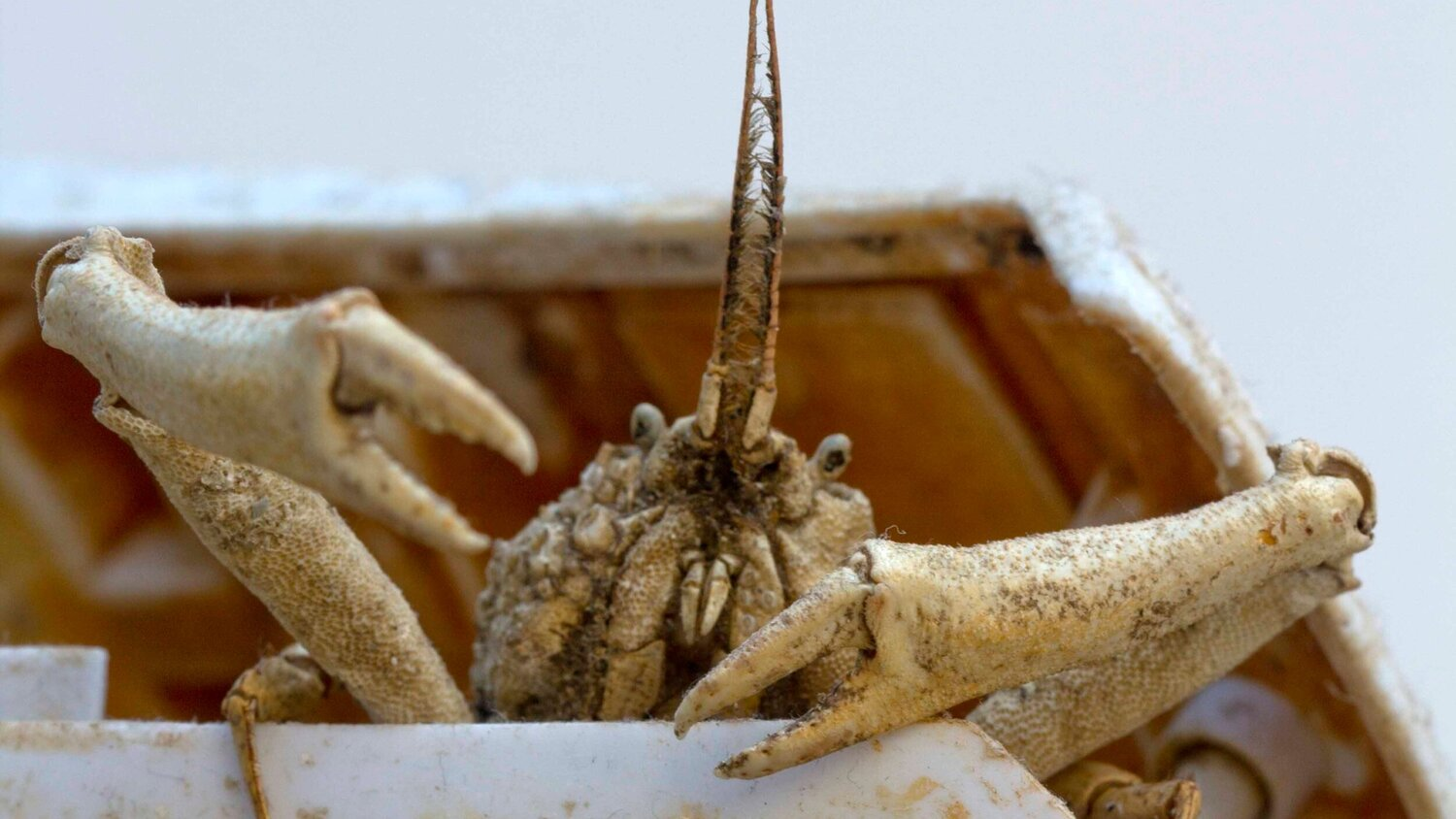 Crab Museum: An Exhibition By Rex Birchmore