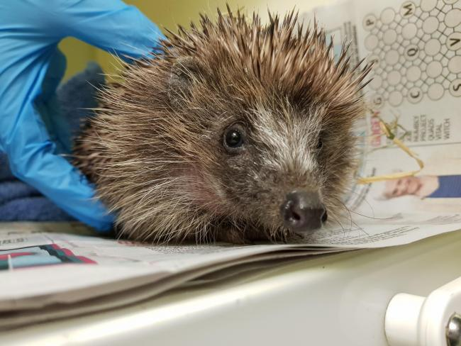 Record number of hedgehogs saved