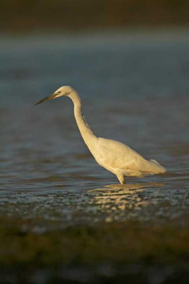 Little Egrets have finally bred in the Cotswold Water Park