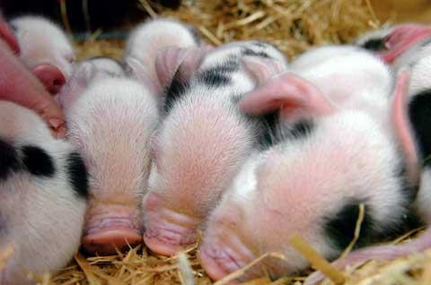 Gloucester Old Spot piglets huddle for warmth at The Butts Farm near South Cerney