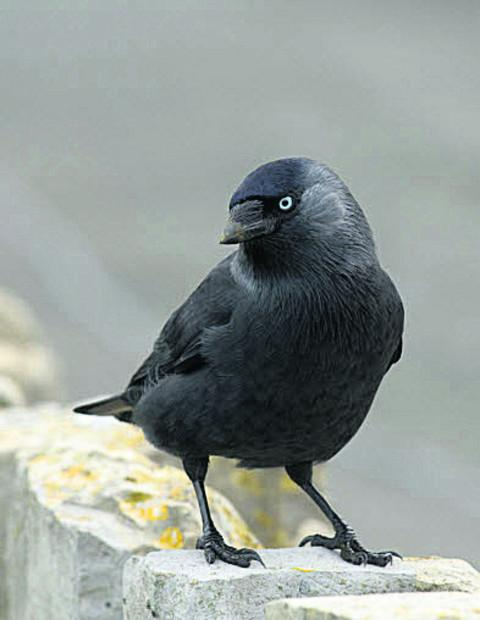 Wilts and Gloucestershire Standard: Jackdaw
