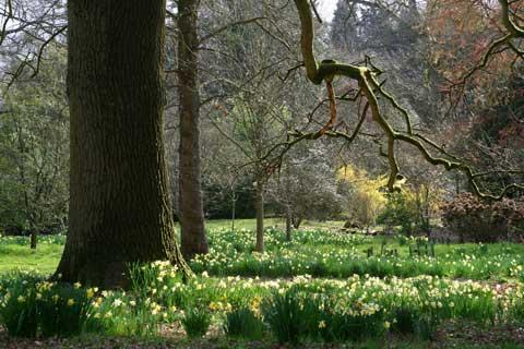 Daffodils start of springtime show at Cotswold arboretum
