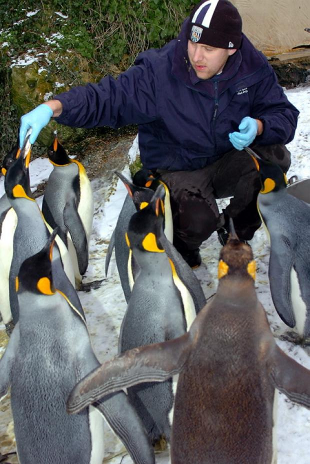 Birdland head keeper Alistair Keen feeding the King Penguins