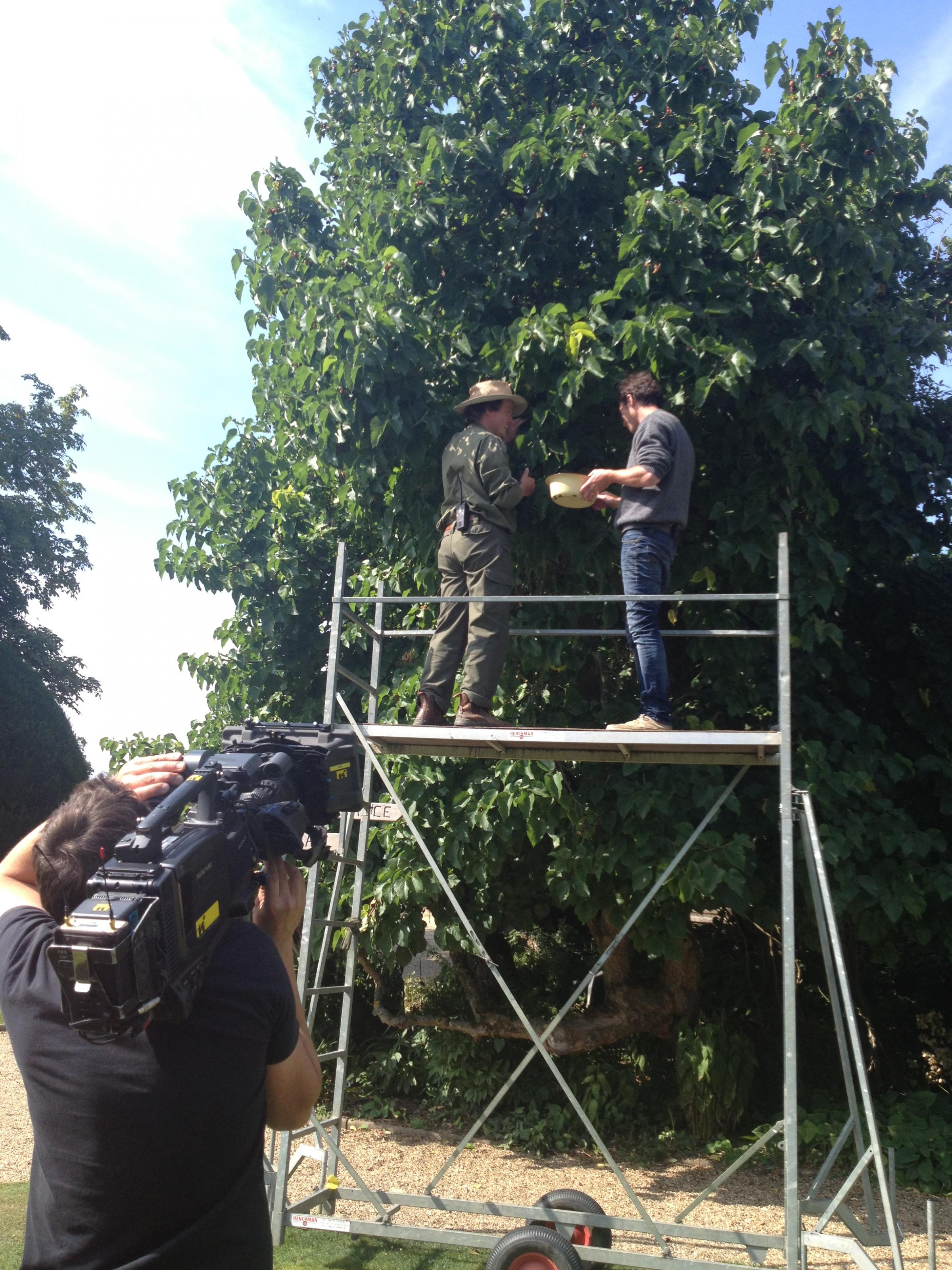 Sudeley Castle mulberry tree to gain fame from Channel 4 TV show