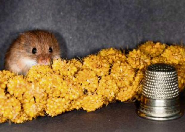 One of the new arrivals of harvest mice at Slimbridge wildfowl and Wetlands Centre (3635054)