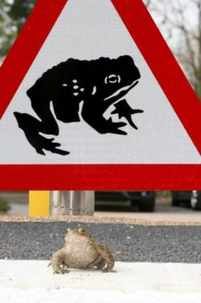 Volunteers needed to stop toads being squashed on the roads