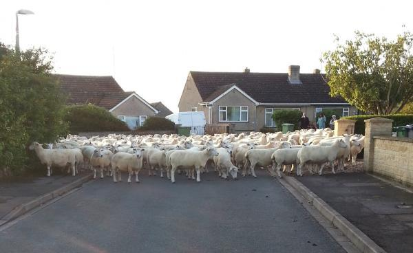 The flock of sheep in North Hill Road.