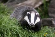 Badger cull will continue next year despite failing to meet targets