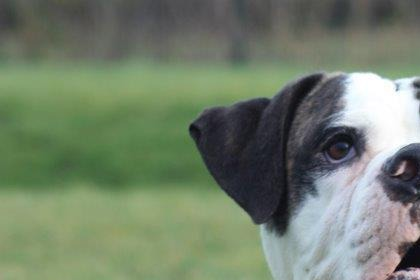 Dougie, a four year old Boxer cross was left to slowly pass away in his home