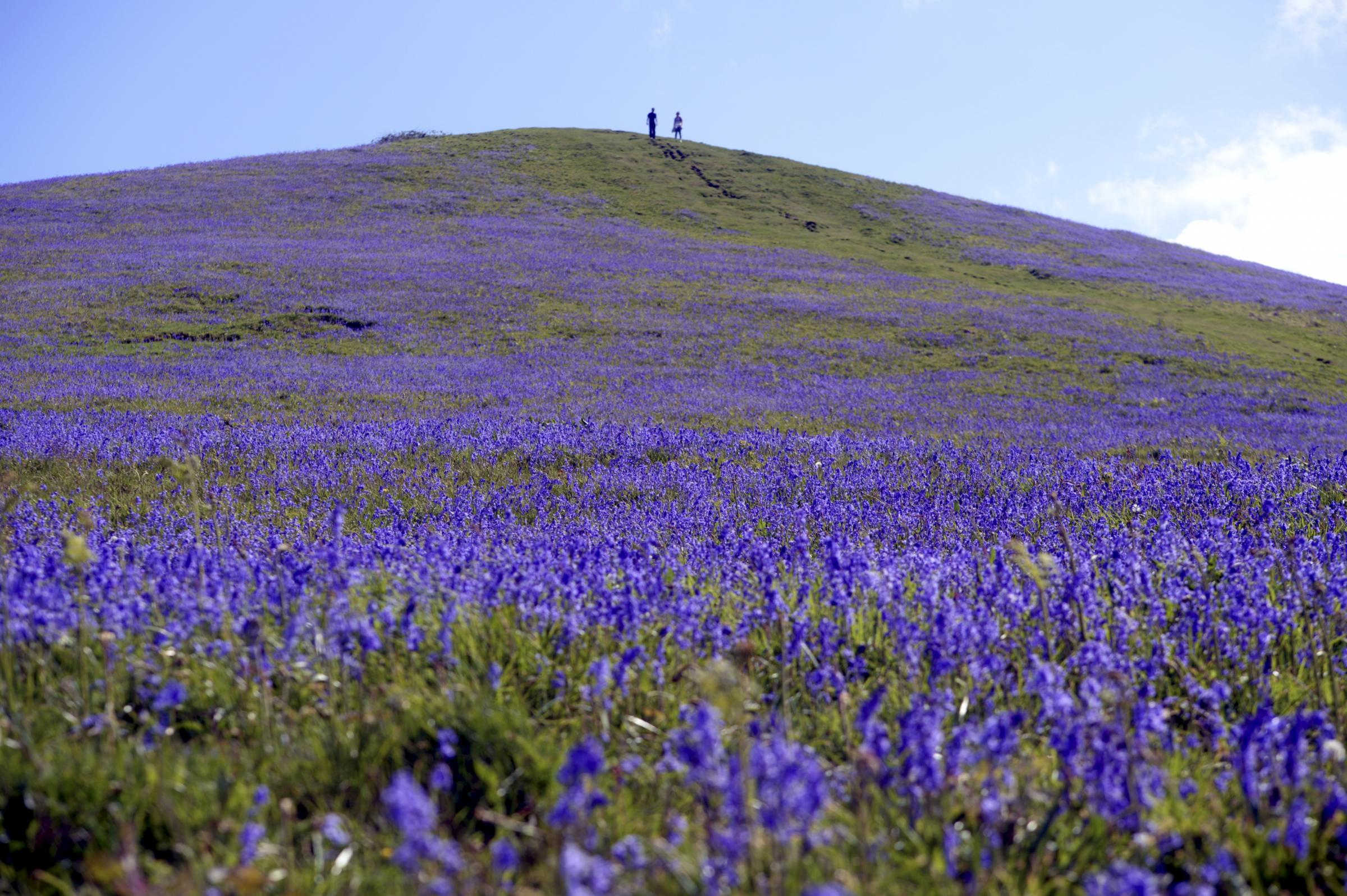 Bluebells on Cam Peak by Paul Nicholls Photography