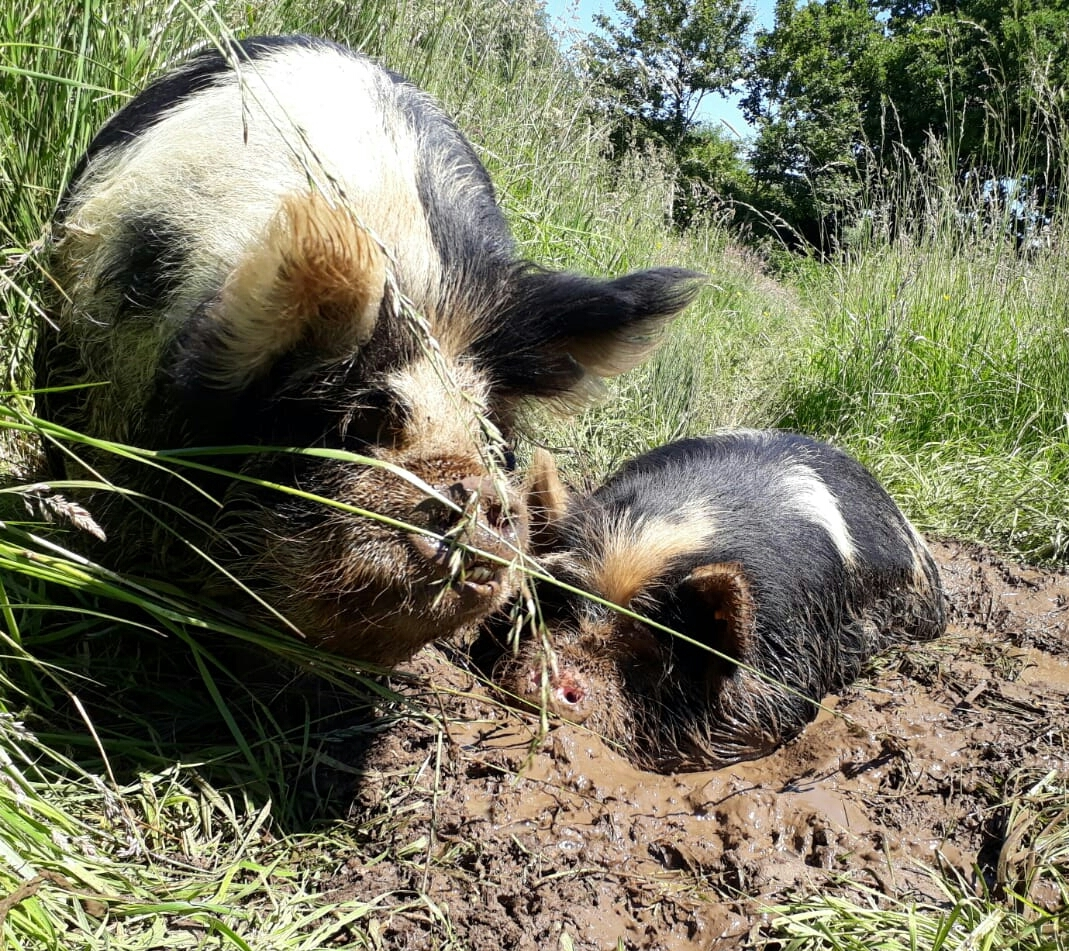 Some of the money will be used to build a new home for farm pigs Nico and Puku by Dean Sherwin