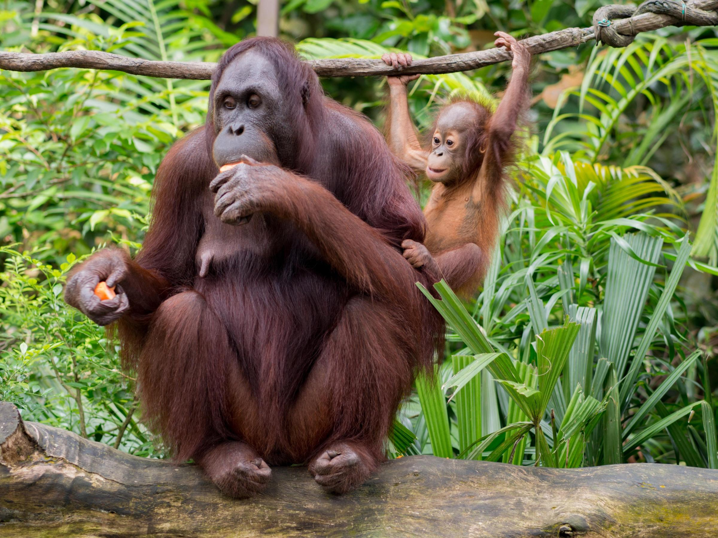 Orangutans are highly emotional animals