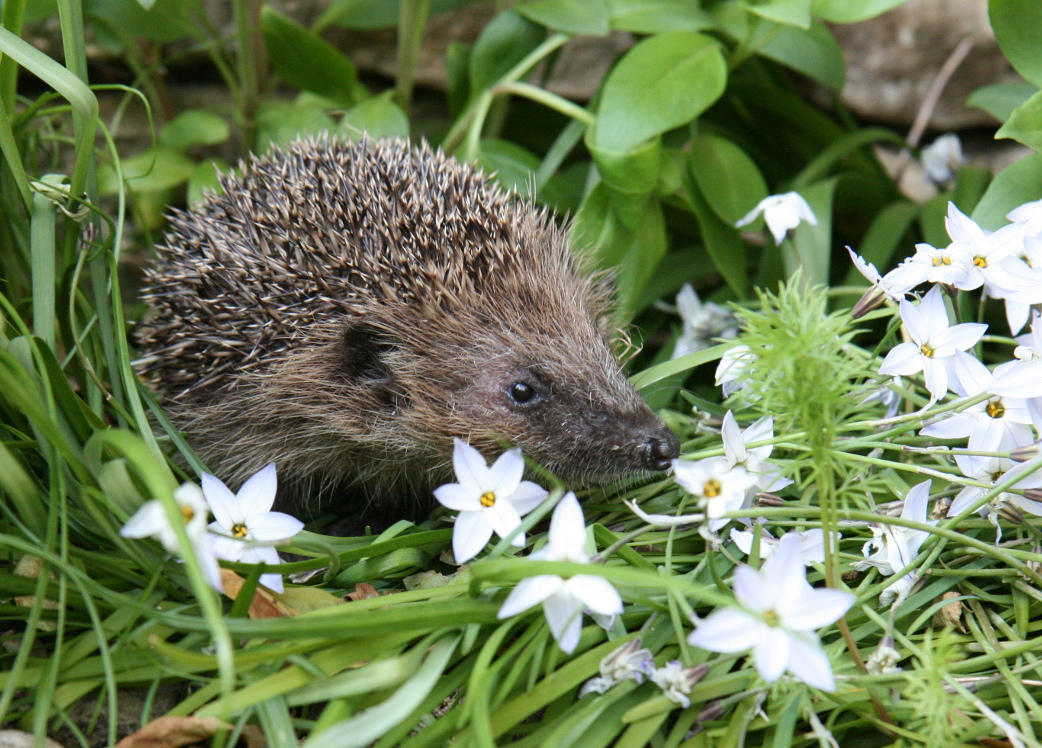 If you have hedgehogs visiting your garden, make sure there is a fresh water supply for them and some dry cat food ready for when they emerge, as worms and beetles will still be hard to find